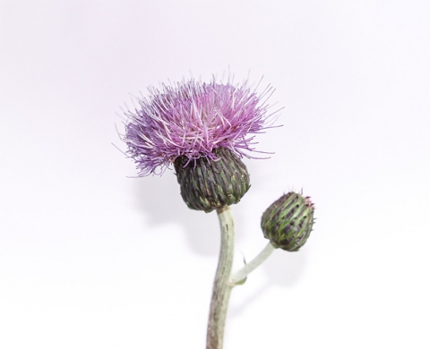 Thistle and weeds